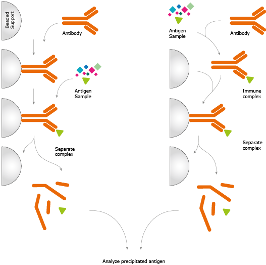 experiment on the functions of antibodies Antibodies have three main functions: 1) antibodies are secreted into the   home  learn  principle and method of the experiment  the role of antibodies .