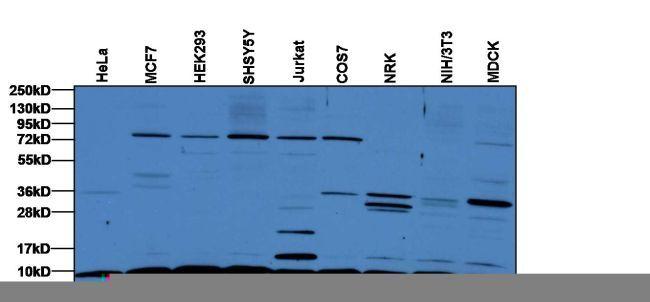 Antibodypedia Pa1 187 Invitrogen Antibodies Rps27a