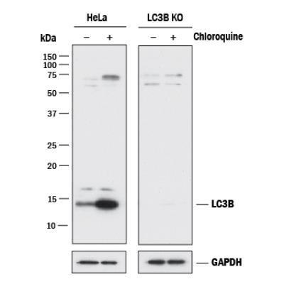 Nb100 2220 Novus Biologicals Map1lc3b Antibody Antibodypedia
