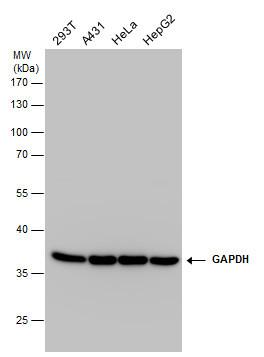 Antibodypedia - GTX100118 - GeneTex GAPDH antibody